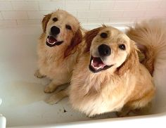 What 3,000 golden retrievers tell us about the future of medicine.