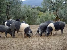 """Cinta Senese Pig  Origin: Italy. Siena Province (Tuscany). Type: Meat. Flavor: Lean, fragrant meat. Delicious! On the Slow FoodItaly Ark of Taste. Size: Medium. Color: Black with a white """"belt"""". Temperament: Reportedly, can be rather wild. Notes: Endangered breed. """"Cinta"""" means belt. Very hardy. Very good foragers."""