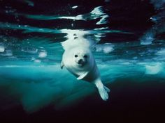 O que cê tá fazendo na minha casa? Harp Seal, Canada Photograph by Brian J. Skerry, National Geographic A juvenile harp seal, or whitecoat, swims in the Gulf of St. Harp Seal Pup, Baby Harp Seal, Baby Seal, Wild Life, Wow Photo, Photo Animaliere, Underwater Photographer, Underwater Photos, Underwater Sea