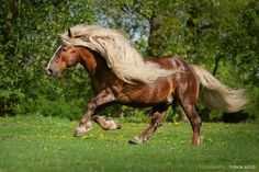What a magnificent horse!!!!!!  Black Forest Chestnut