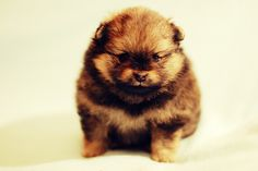 Pomeranian puppy    Like, repin, share! :)