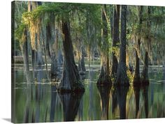 Bald Cypress (Taxodium distichum) swamp, Sam Houston Jones State Park, Louisiana Photo Canvas Print | Great Big Canvas