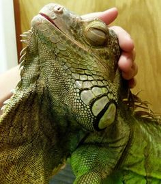 Smiling iguana. ...........click here to find out more http://googydog.com