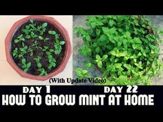 Do you know the best wasp repellent plants are to include in landscaping that look nice and also keep those nasty wasps away? Here are some tips for natural pest control using plants and herbs. Growing Mint, Fast Growing Plants, Plants That Repel Bugs, Cool Plants, Natural Wasp Repellent, Organic Gardening, Gardening Tips, Kitchen Gardening, Insect Repellent Plants