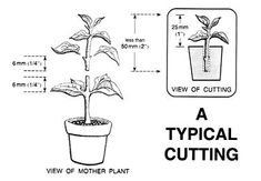 Cutting Propagation - the difference between cutting and grafting