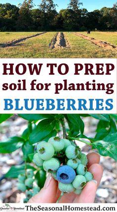 Veg Garden, Fruit Garden, Edible Garden, Lawn And Garden, Growing Blueberries, Growing Fruit Trees, Growing Plants, How To Plant Blueberries, Organic Blueberries