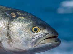 Great Photo of a bluefish