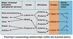 flowchart showing traditional organization of brachial plexus of cords divisions trunks roots nerves
