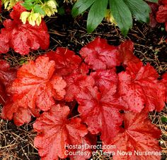 Heuchera 'Fire Alarm' | Hostas Direct