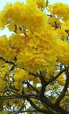 Resultado de imagem para very beautiful amazing flowers yellow garden tree Amazing Flowers, Pretty Flowers, Yellow Flowers, Unique Trees, Colorful Trees, Blooming Trees, Flowering Trees, Garden Trees, Trees To Plant