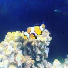 #acuariomarino #reeftank #reef #amphirionocellaris #pezpayaso #ocellaris #ocellarisclownfish #clownfish