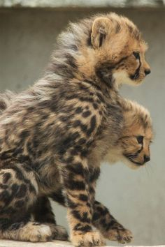 cheetah cubs so FLUFFY and cute. Haha, thought that they were joined for a moment!