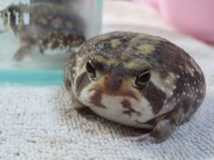 I did NOT pee on the carpet - the guy back there did it! Animals Of The World, Animals And Pets, Baby Animals, Cute Animals, Funny Frogs, Cute Frogs, Frog Pictures, Animal Pictures, Cute Creatures