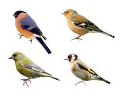 Image result for finches images uk