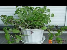Jak pěstovat bazalku pravou v květináči