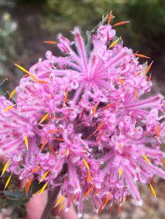Isopogon baxteri Stirling Range Coneflower