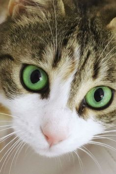 The short answer is yes, cats can see some colors, but not the same range that we can. Let's dig into how cats see and which colors their eyes can detect. Kittens Cutest, Cats And Kittens, Cute Cats, Funny Cats, Siamese Cats, Funny Animal, Pretty Cats, Beautiful Cats, Cat Eye Colors