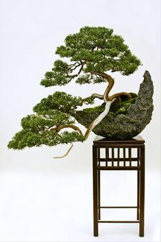 Chinese Juniper (Juniperus chinensis)