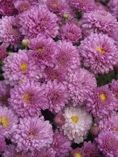 Mum Jewel Box -- Bluestone Perennials