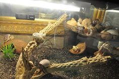 I like the idea of the corner shelf for shells! Might be something I do for my tank - have the crabs be able to climb up to it from a net or an aquarium plant. Hermit Crab Cage, Hermit Crab Habitat, Hermit Crabs, Crab Decor, Crab House, Planted Aquarium, Betta Fish, Habitats, Dog Cat