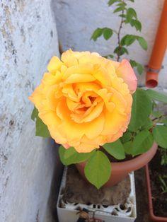 Rosa bicolore