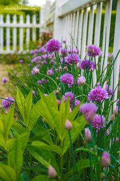 How to Grow and Care for Chives - these beautiful and easy spring bloomers add a bright beautiful color to the garden and offer healthy benefits to our meals. by Olive Oyl Garden Inspiration, Plants, Beautiful Gardens, Chives, Garden Plants, Growing Chives, Garden Planning, Cottage Garden, Garden