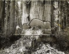 1915-era capture lumberjacks working among the redwoods in Humboldt County, California, when tree logging was at its peak.