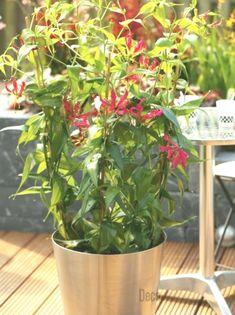 poisonous houseplants - magnificent lily