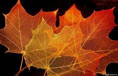 Skeleting leaf - jednoduchý proces, ale vyžaduje trpělivost a přesnost. Vše, co potřebujeme, je - listy (lepší shromáždit na podzim, kdy jsou hustší), jedlá soda a potravinářské barvivo. Na 1 litr vody  1 čajová lžička jedlé sody. Vařit 20-30 minut.