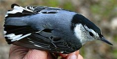 White-breasted Nuthatch, Sitta carolinensis: Yes, We Have Them at ...