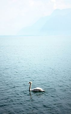 A foggy morning with a lonely swan in the pastel ocean. Available as poster at printler.com, the marketplace for photo art. Photographer Lo Boman.