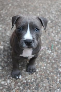 Blue Nose Pitbull Puppy - I also need one of these, too!