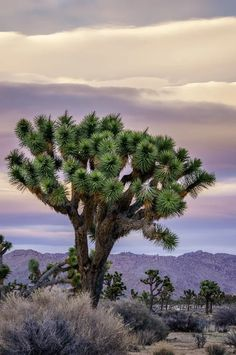Joshua Tree, National Park, California