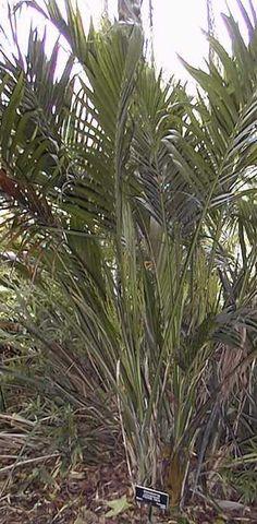 Chamaedorea cataractarum (Cat Palm)