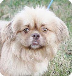 Tibetan Spaniel Mix Puppies