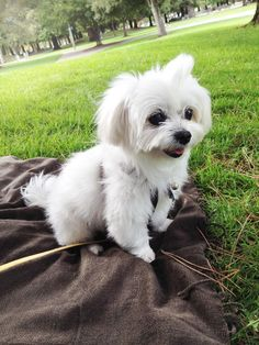 Summer afternoon with Happy :) #cutest #maltese #dog