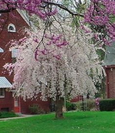 Weeping Cherry Tree Memorial The Weeping Cherry is one of my favorite ornamental trees and a stunning centerpiece for a memorial tribute. Weeping Trees, Memorial Garden, Plants, White Gardens, Beautiful Tree, Dream Garden, Trees To Plant, Landscape, Weeping Cherry Tree