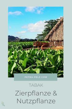 Beim echten Tabak (Nicotiana tabacum) sind es neben den Blüten auch die  Samenkapseln, die faszinieren. Die großen Blätter werden getrocknet, fermentiert und zu Tabakprodukten verarbeitet. Der echte Tabak ist etwa 160 cm hoch, mit den typischen schönen Röhrenblüten, die von Weiß zu Rosa wechseln. Ziertabak | Ziertabak Pflege | Nutzpflanzen | Tabak | Besondere Stauden | einjährige Pflanzen | einjährige Stauden | exotische Stauden | Stauden für Sonne | Stauden für trockene Standorte #petrapelz Vinales, Agatha Christie, Miss Marple, Petra, Plant Leaves, Plants, Pink, Cuban Cigars, Protractor