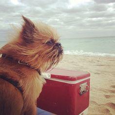 Brussels griffon: on my dog breed wishlist