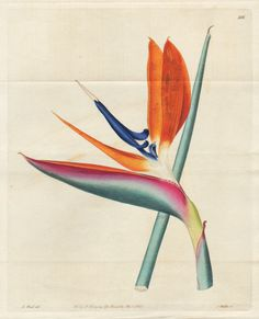I'm collecting different images / reworks of sterlizia flower, also known as strelitzia or crane flower or bird of paradise. I love this flower and called my blog http://www.sterlizie.com