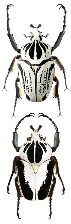 Goliathus albosignatus; Goliathus regius