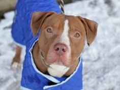 SAFE - 07/08/15 - CAPTAIN - #A1024950 - Brooklyn - **RETURNED 06/24/15 **  ***DOH HOLD RELEASED 07/07/15*** - NEUTERED MALE TAN AND WHITE AM PIT BULL TER MIX, 1 Yr 5 Mos - OWNER SUR-ONHOLDHERE HOLD, FOR DOH-HB REASON BITEPEOPLE