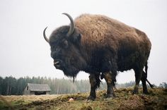 buffalo  Wow look at those horns. Love this picture