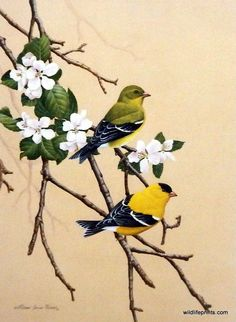 """A pair of golden finches perch on the twigs of a beautiful flowered tree in James Riddet's SPRINGTIME SPLENDOR. This print is available in an unframed image size of 9.5""""x13""""."""
