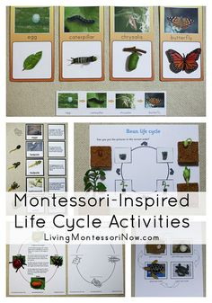 Montessori Monday – Montessori-Inspired Life Cycle Activities