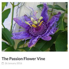 The Passion Flower Vine, Exotic Blooms, Tasty Fruit, Easy Care Unique Plant  For A Patio Or Trellis Growing Tips For The Passiflora Plant.