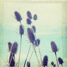 Teasel - Fine Art Nature botanical Photo . botanical . minimalist . BOGO sale 8x8