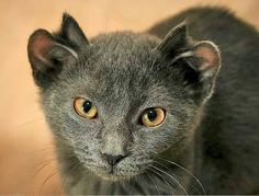 Yoda is a Chicago cat with four ears