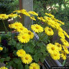 Doronicum orientale Balcony Plants, Plants, Indoor Plants, Growing