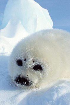 Harp seal baby 3